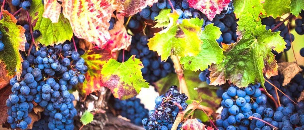 необходимо определиться с сортом винограда для чачи